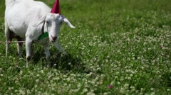 Funny Goat in a red cap and green butterfly on her neck grazing in a field Stock Footage