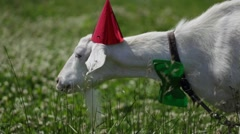 Funny Goat in a red cap and green butterfly on her neck eating grass Stock Footage