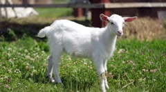 Graceful young goat grazing in a meadow, looking directly into the camera Stock Footage