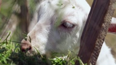 Little white goat eating hay on a farm, close-up Stock Footage