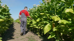 Farmer examine tobacco field Stock Footage