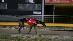 Purebred champion Greyhound dog on race track Stock Footage
