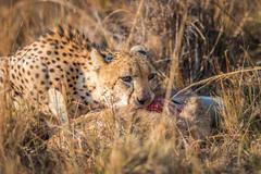 Cheetah eating from a Reedbuck carcass in Kruger. Stock Photos