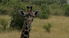 Giraffe  (Giraffa camelopardalis giraffa ) portrait zoom-out Stock Footage