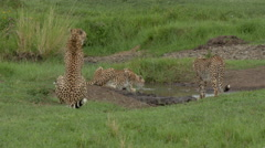 Cheetah (Acinonyx jubatus) Stock Footage
