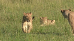 African Lion (Panthera leo) walking towards camera, tracking shot Stock Footage