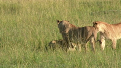 African Lion (Panthera leo) growling to each other, lock shot Stock Footage