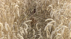 Brown Hare in corn field Stock Footage