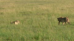 African Lion (Panthera leo) greeting each other, tracking shot zoom-in Stock Footage
