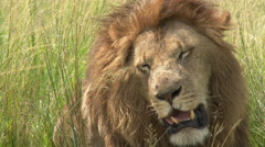 African Lion (Panthera leo) portrait close-up lock shot Stock Footage