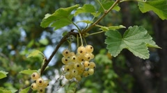 Branch of the white currant Stock Footage