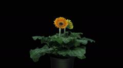 Growing, opening and rotating orange gerbera in RGB + ALPHA matte format Stock Footage