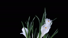 Growing and rotating white crocus Easter flower in RGB + ALPHA matte format Stock Footage