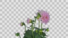 Growing, opening and rotating pink dahlia with ALPHA channel Stock Footage