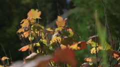 Focus shift from background leaves to closer leaves in the fall Stock Footage