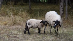 Ewes grazing under the acacias Stock Footage