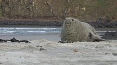 Cute male Sea Lion rolls on beach, NZ, dusk Stock Footage