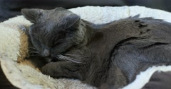 Sad sick old gray shorthair cat laying and resting in pet bed kidney disease Stock Footage