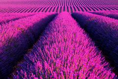Lavender flower blooming scented fields in endless rows. Stock Photos