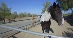 Pinto horse staring , shaking head and walking away wagging his tail Stock Footage