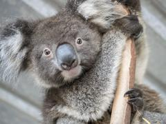Portrait of koala (Phascolarctos cinereus) on branch Stock Photos
