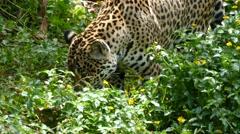 4K : Close up of rare, Amur leopard. Stock Footage