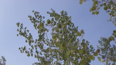Aspen:birch leaves slowly  blow in the wind against blue downward pan Stock Footage