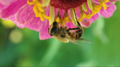 The fly like a bee collects nectar from a flower. upside down Stock Footage