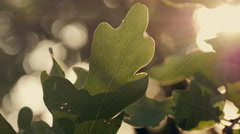 Green oak leaves at sunset Arkistovideo