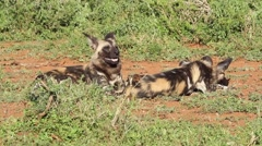 Two wild dogs basking in the sun. Stock Footage