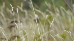 Tall stalks of dried out wild grass Stock Footage
