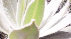 Detail of espeletia plant Stock Footage