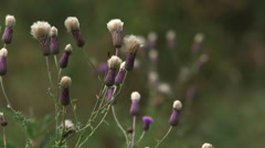 Wild plant with purple top sways in field Stock Footage
