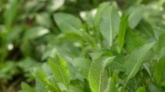 Cephalaria squamiflora in family Caprifoliaceae Stock Footage
