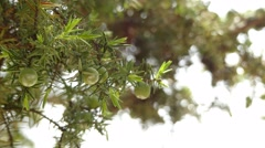 Juniperus oxycedrus (prickly juniper, sharp cedar) Stock Footage