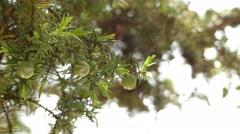 Juniperus oxycedrus (prickly juniper, sharp cedar) Stock Footage