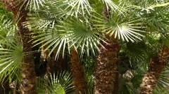 Chamaerops humilis, called European fan palm Stock Footage