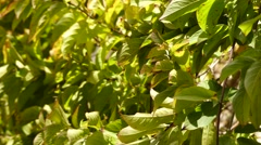 Combretum indicum, also known as the Chinese honeysuckle Stock Footage
