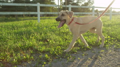 CLOSE UP: Happy brown puppy dog exploring the farm ranch on leash Stock Footage