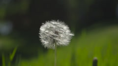 Dandelion gone to seed close up Stock Footage