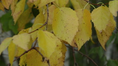 Close up yellow tree leaves blow in wind 01 Stock Footage