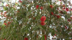 Melaleuca viminalis (Callistemon viminalis) Stock Footage