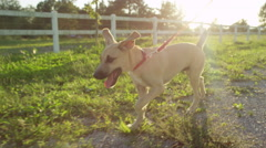 CLOSE UP: Excited brown puppy dog exploring the farm ranch on leash Stock Footage