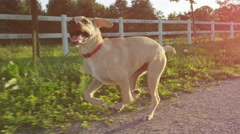 CLOSE UP: Adorable puppy dog running near ranch fence on countryside dirt road Stock Footage