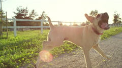 CLOSE UP: Happy young puppy dog jumping freely around on countryside farm ranch Stock Footage