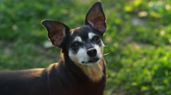 CLOSE UP: Adorable senior Miniature Pinscher in profile, looks into the camera Stock Footage