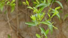Jasminum volubile, known as Stiff Jasmine Stock Footage