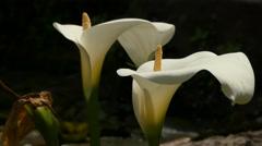 Zantedeschia aethiopica (arum lily) Stock Footage