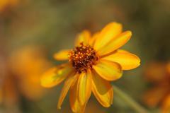 Zinnia flower, Zinnia elegans Stock Photos