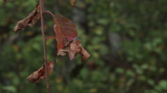 Shriveled red leaves on tree Stock Footage